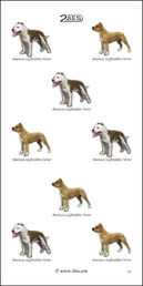 American Staffordshire Terrier 059
